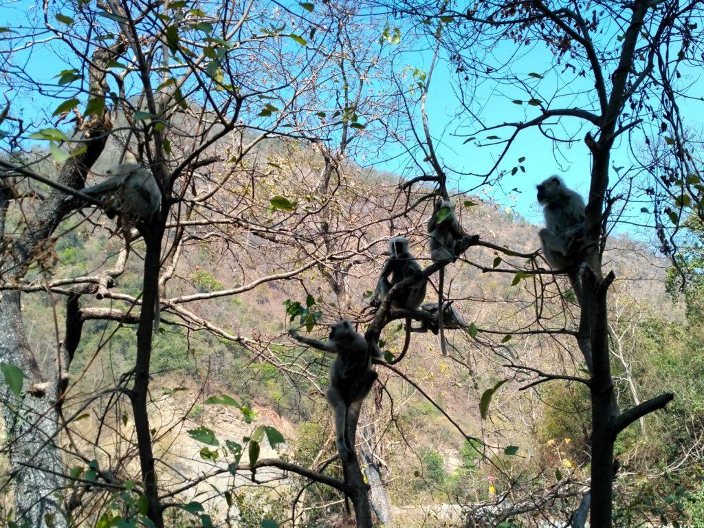 Лангуры на деревьях
