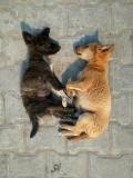 rishikesh_puppies